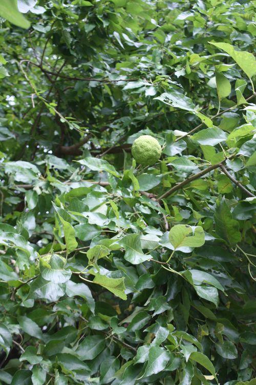 Apple like leaves
