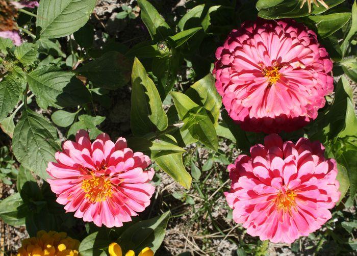 Pink zinnia group