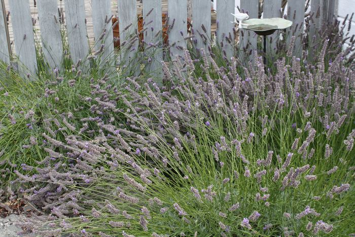 Lavender with bird bath