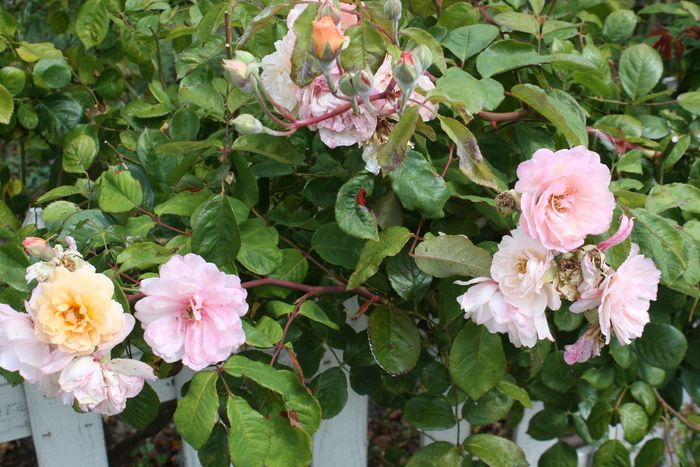 Pink roses on picket fence