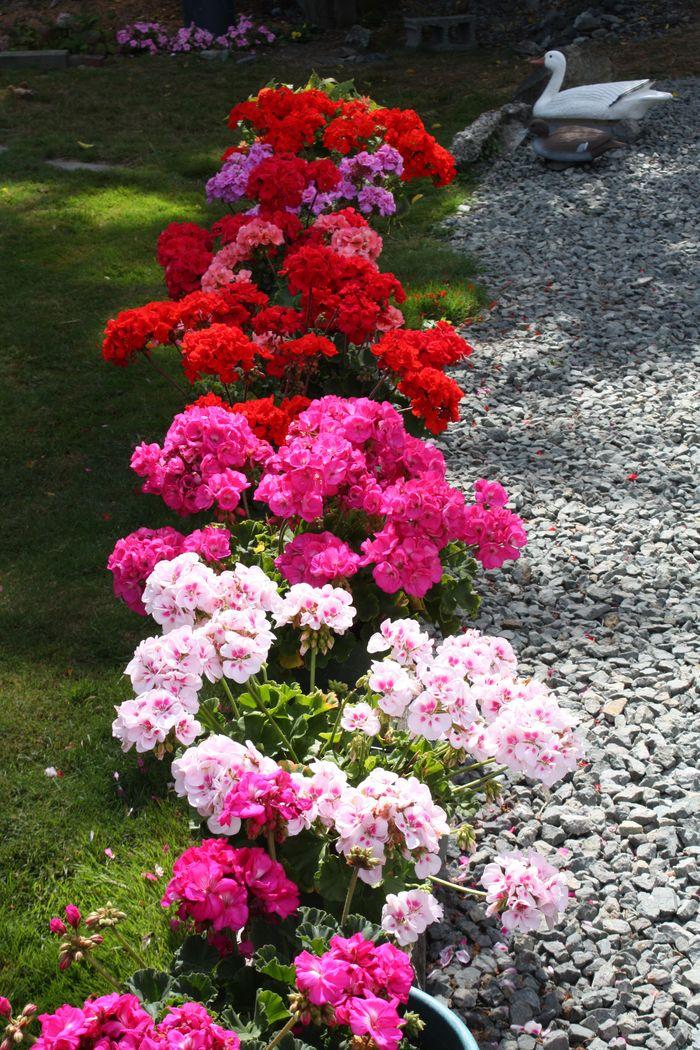 Geraniums along driveway