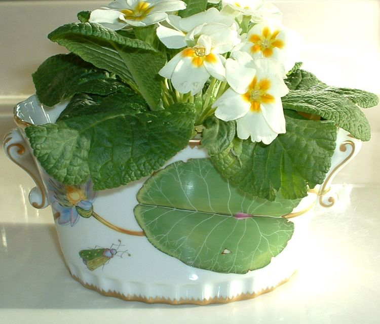 English primose in Anna Weatherly Waterlily cachepot