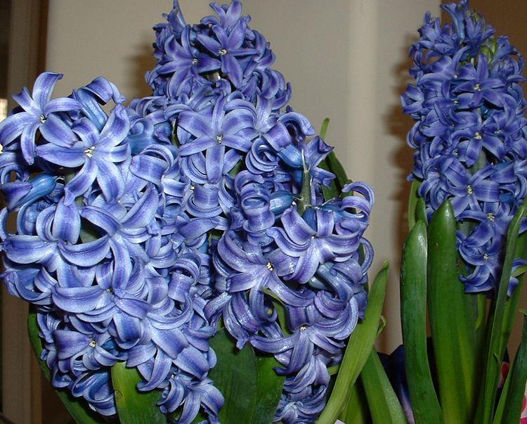 Blue hyacinths 2