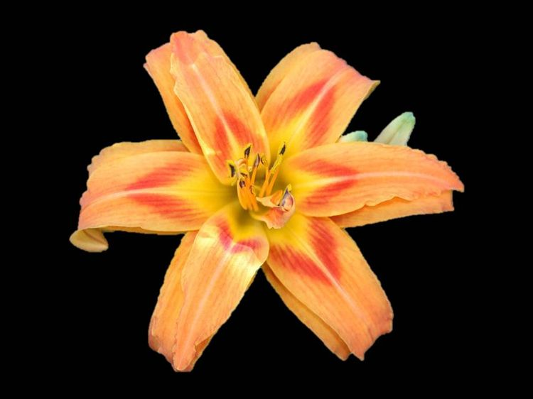Daylily on black background in PP