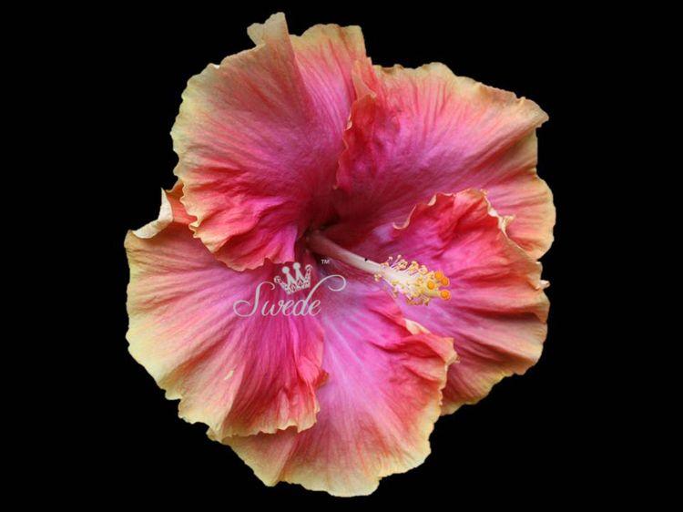 Hibiscus almost fully openedlogo