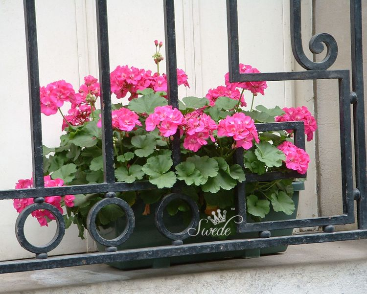 37 pink geraniums