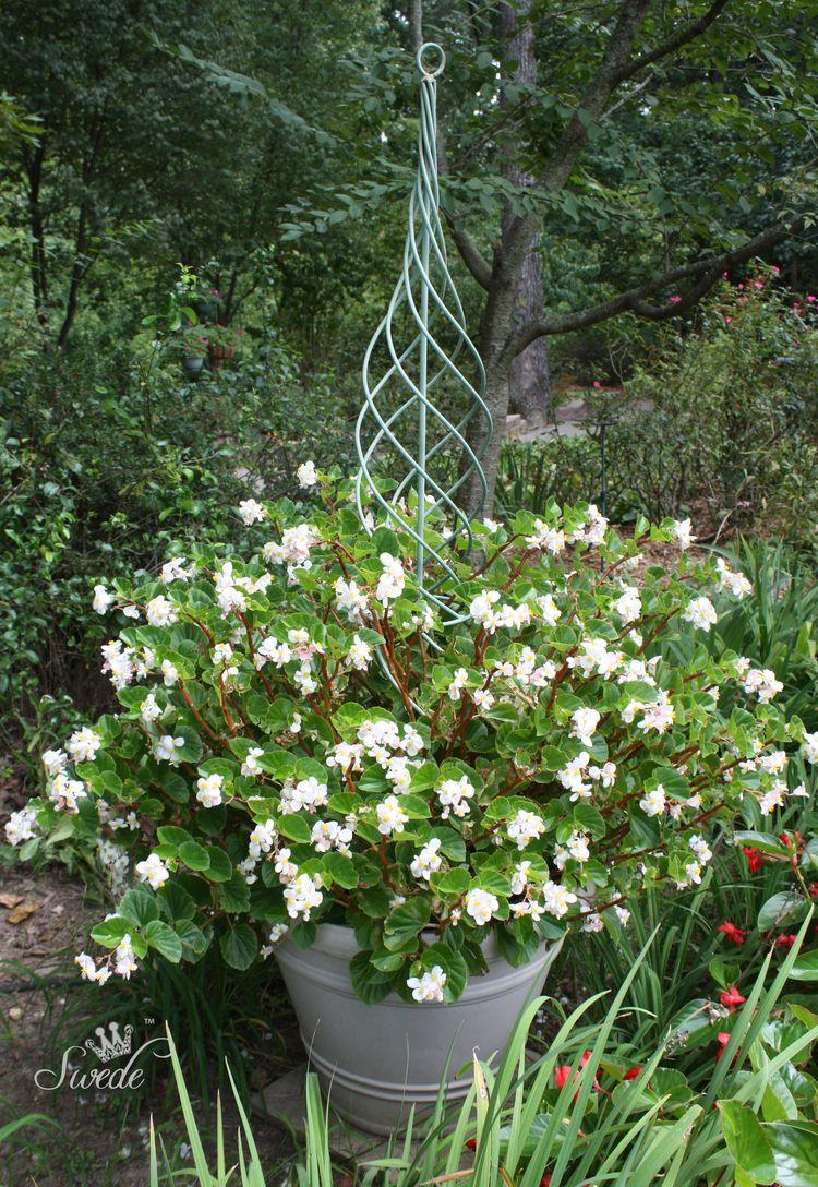 White dragonwings in pot 7888