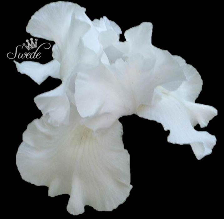 White iris on black 143px logo
