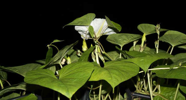 Night blooming moonflower