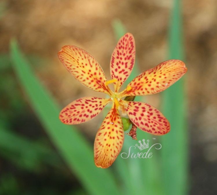 Blackberry lily  logo
