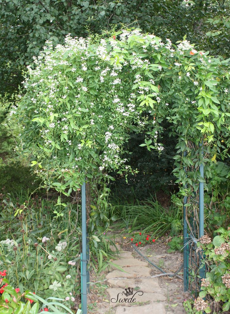 Autumn clematis tall 7890