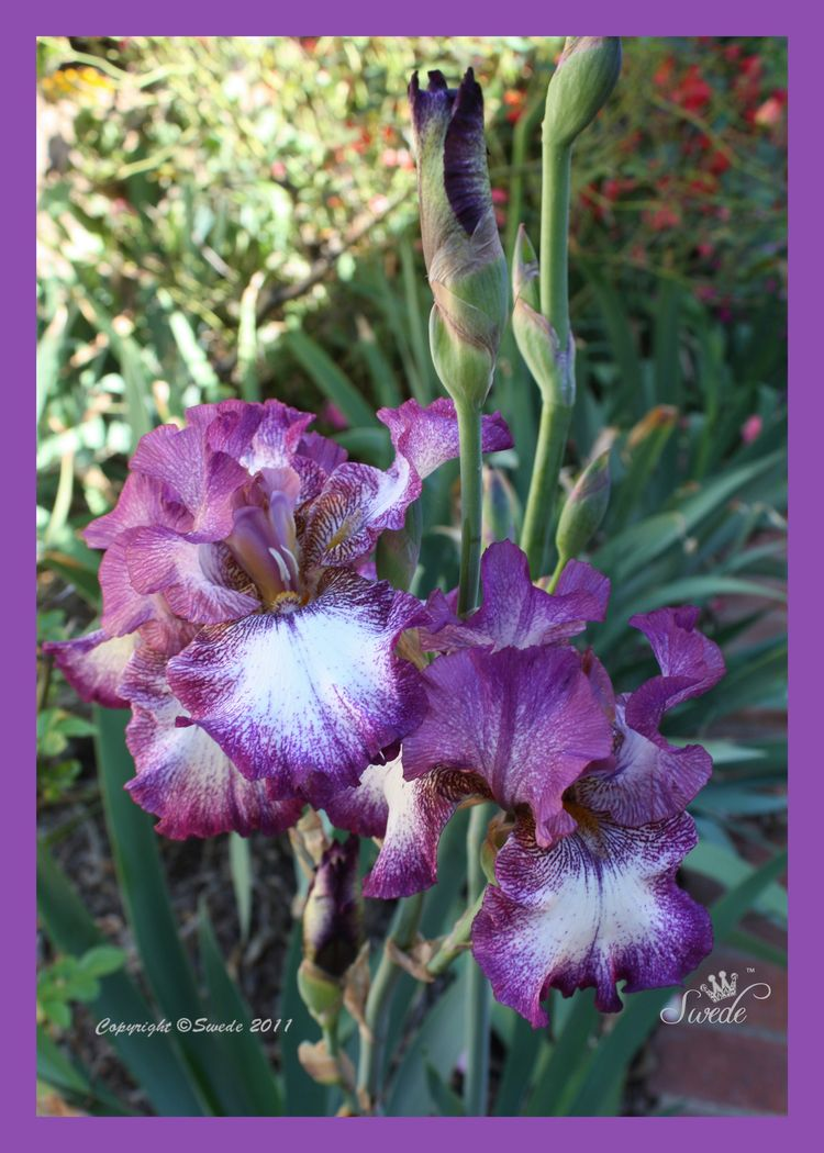 2011_10_161 tall iris