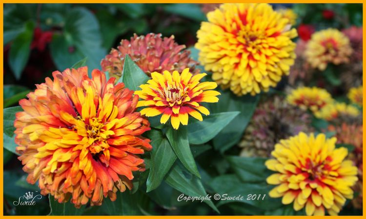 Zinnias fall color collage logo