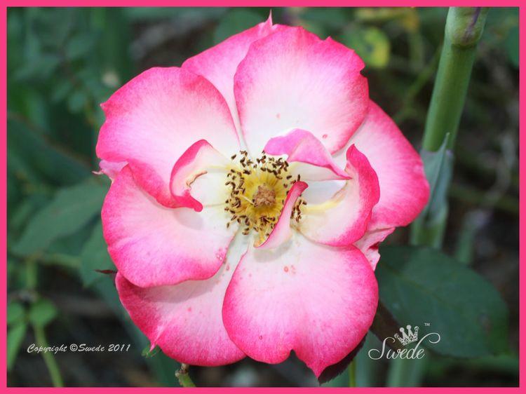 Betty boop rose logo