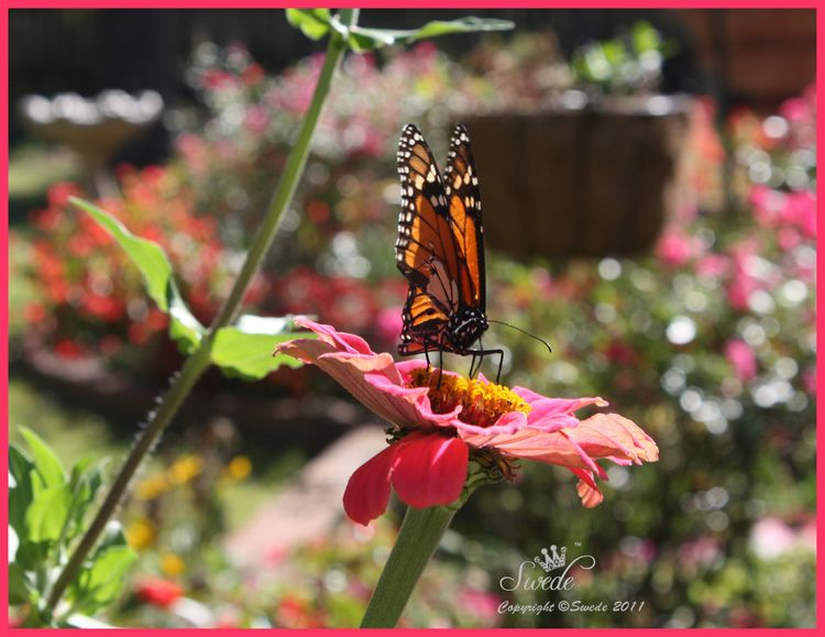 Orange butterfly on Zinnia