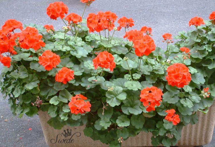 18 red geraniums
