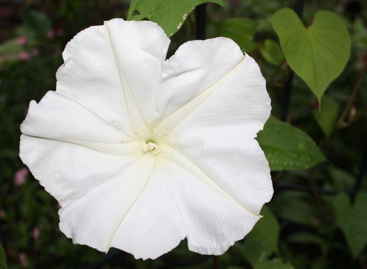 White moonflower at night
