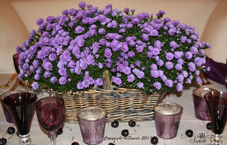 Asters7768