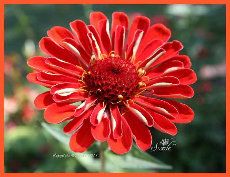 Orange zinnia 201