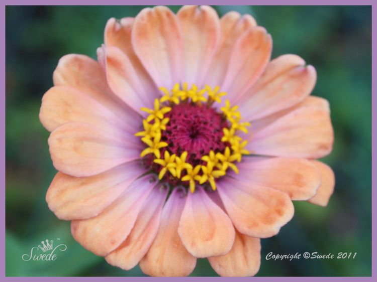 Lilac glow on Zinnia logo