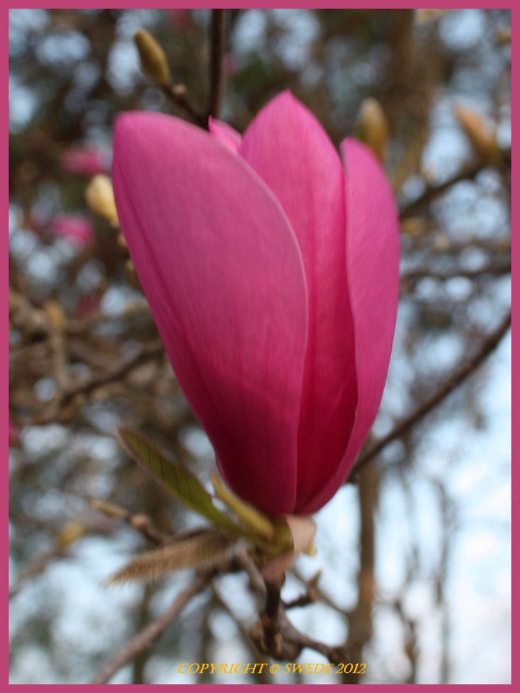 Tulip magnolia logo