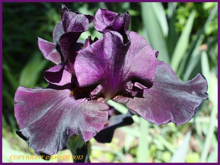 Black Velvet Iris logo