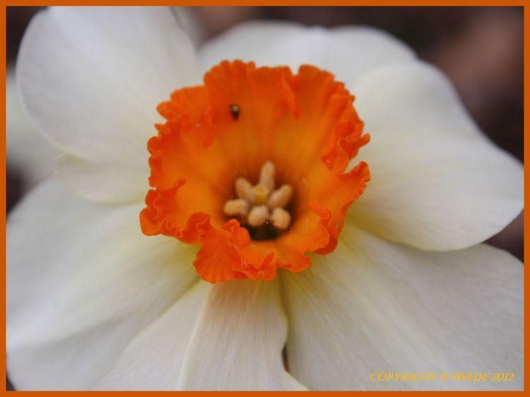 Orange daffodil logo