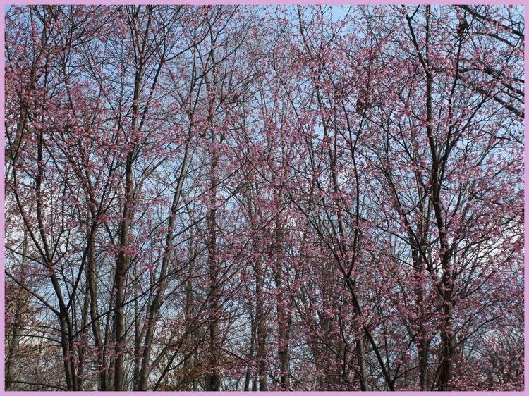 Two cherry trees