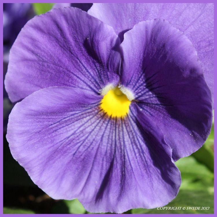 Lilac pansey logo