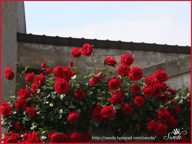 Roses in Roissylogo