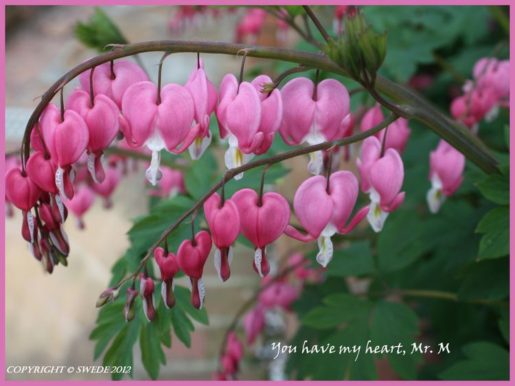 Bleeding heart logo border