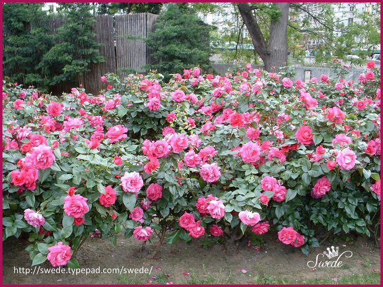 Pink roses at notre dame gardenlogo