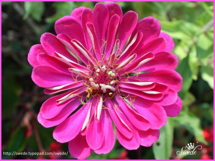 Pink zinnialogo