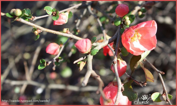 Quince lots of buds lo