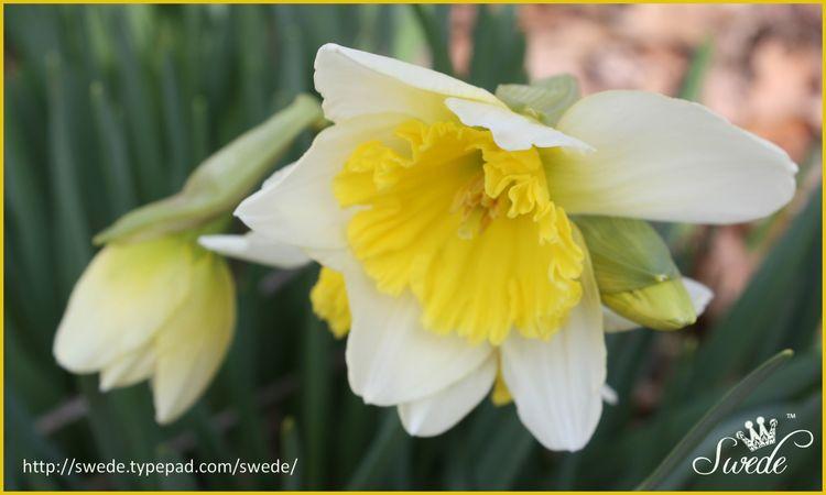 Daffodil pair lo