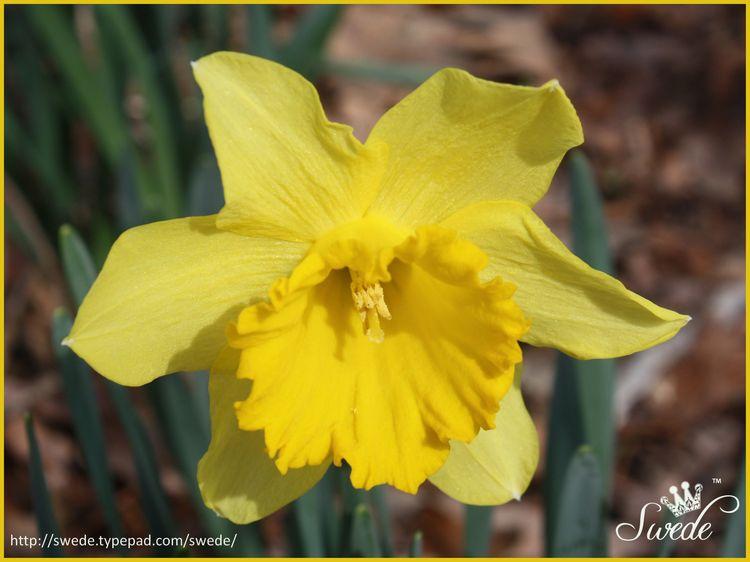 Yellow lo