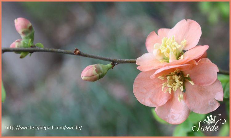 Peach quince wide bor lo