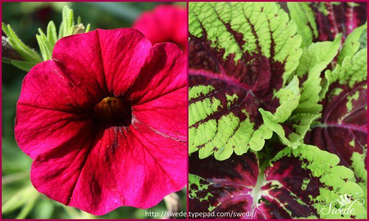 Coleus and petunia