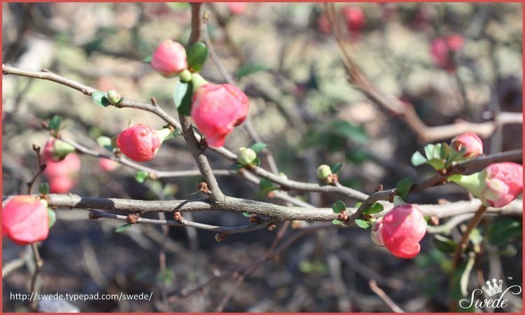 Quince branch of buds lo