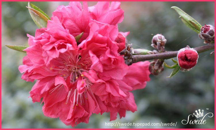 Flowering Peach lo