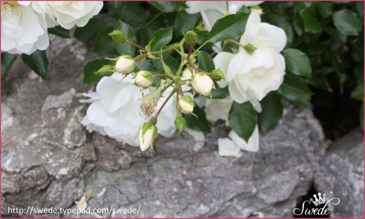 Roses in the rocks