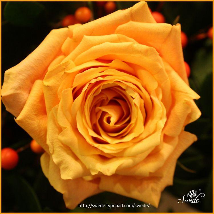 Squarefabulous rose logo