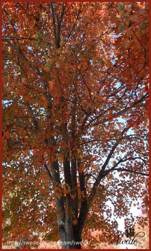 October Glory Maplelogo