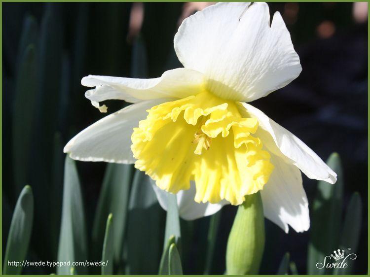 First daffodil lo