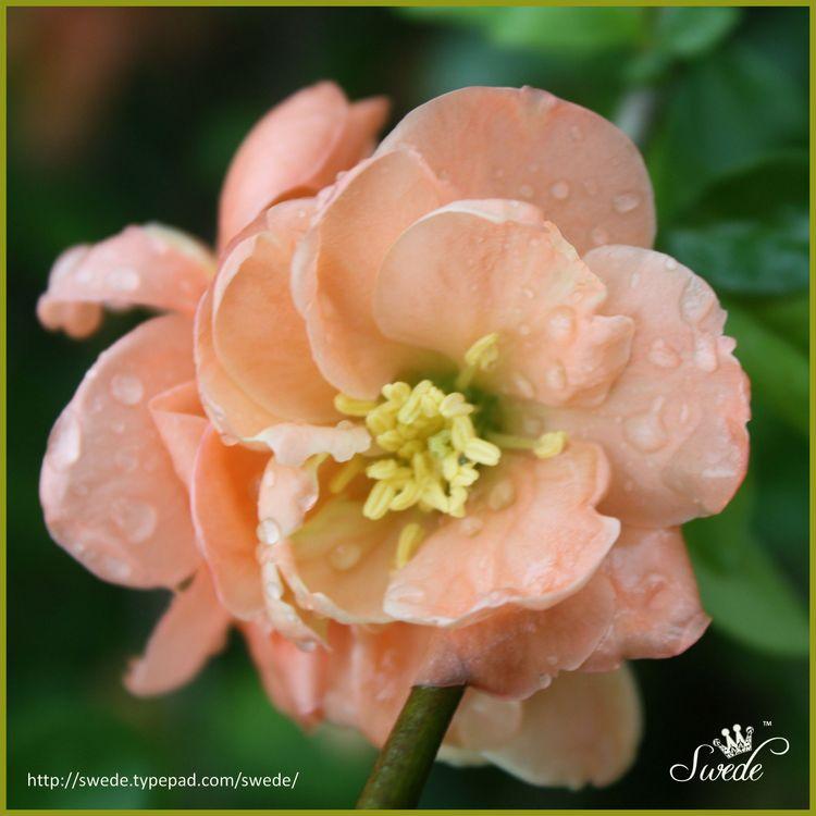 Peach quince in rain border square lo
