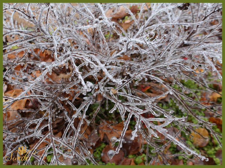 Ice on shrublogo