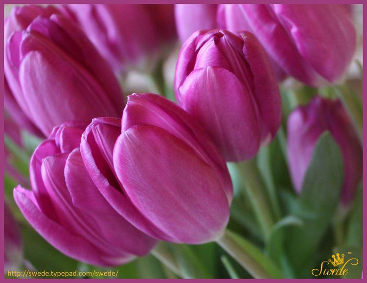 Tulipslogo