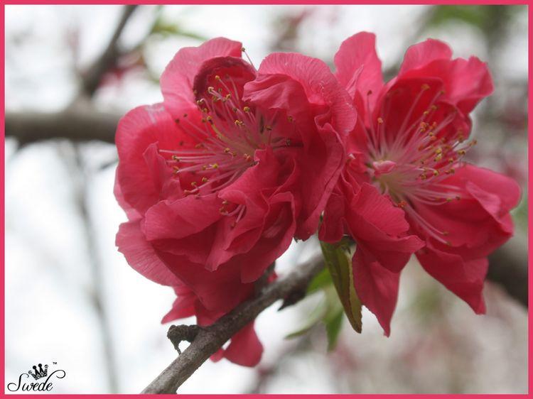 Peach bloomsborlo