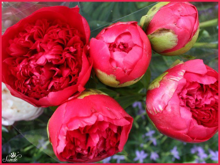2014-06-0311 red peonieslo