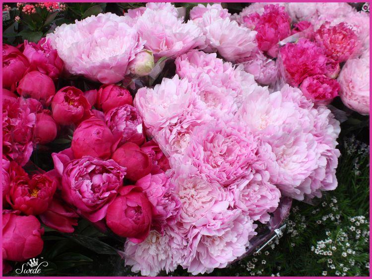 2014-06-0310 pink peonieslo